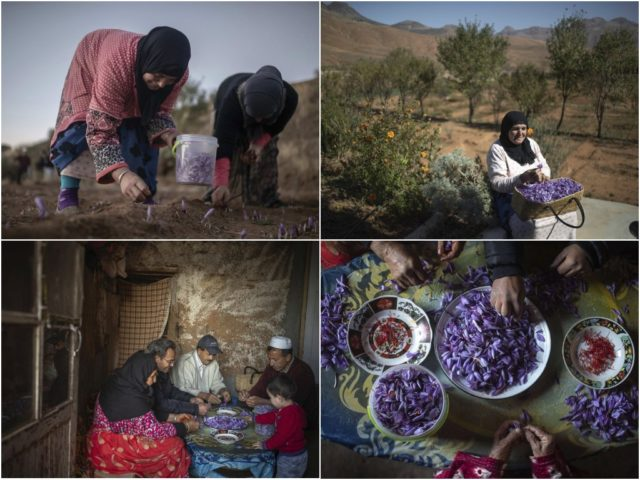 Сбор шафрана в Марокко